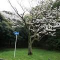 写真: 2017年4月9日 西公園 桜 福岡 さくら 写真 (71)
