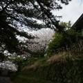 写真: 2017年4月9日 西公園 桜 福岡 さくら 写真 (83)