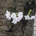 写真: 2017年4月9日 西公園 桜 福岡 さくら 写真 (85)
