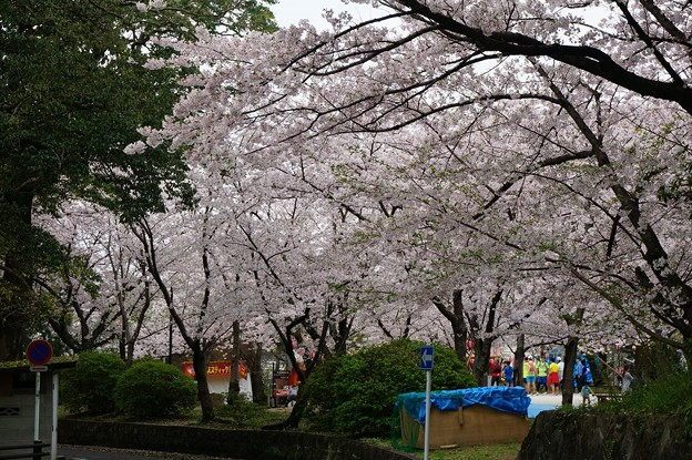 写真: 2017年4月9日 西公園 桜 福岡 さくら 写真 (86)