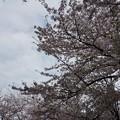 写真: 2017年4月9日 西公園 桜 福岡 さくら 写真 (88)