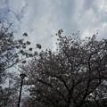 写真: 2017年4月9日 西公園 桜 福岡 さくら 写真 (95)