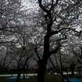 写真: 2017年4月9日 西公園 桜 福岡 さくら 写真 (97)