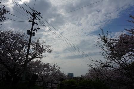 2017年4月9日 西公園 桜 福岡 さくら 写真 (105)
