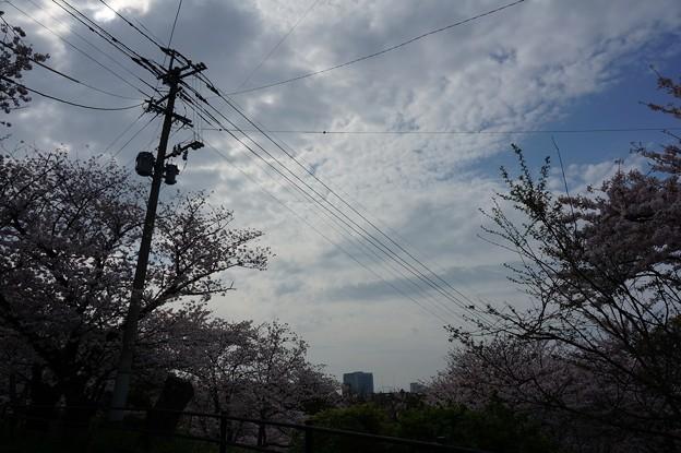 写真: 2017年4月9日 西公園 桜 福岡 さくら 写真 (105)