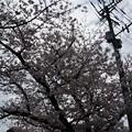 写真: 2017年4月9日 西公園 桜 福岡 さくら 写真 (108)