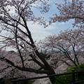 写真: 2017年4月9日 西公園 桜 福岡 さくら 写真 (111)