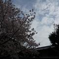 写真: 2017年4月9日 西公園 桜 福岡 さくら 写真 (114)
