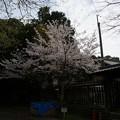 写真: 2017年4月9日 西公園 桜 福岡 さくら 写真 (116)