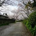 写真: 2017年4月9日 西公園 桜 福岡 さくら 写真 (119)
