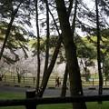 写真: 2017年4月9日 西公園 桜 福岡 さくら 写真 (121)
