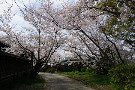 2017年4月9日 西公園 桜 福岡 さくら 写真 (125)