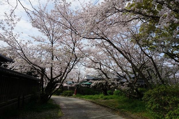 写真: 2017年4月9日 西公園 桜 福岡 さくら 写真 (125)