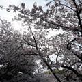 写真: 2017年4月9日 西公園 桜 福岡 さくら 写真 (129)