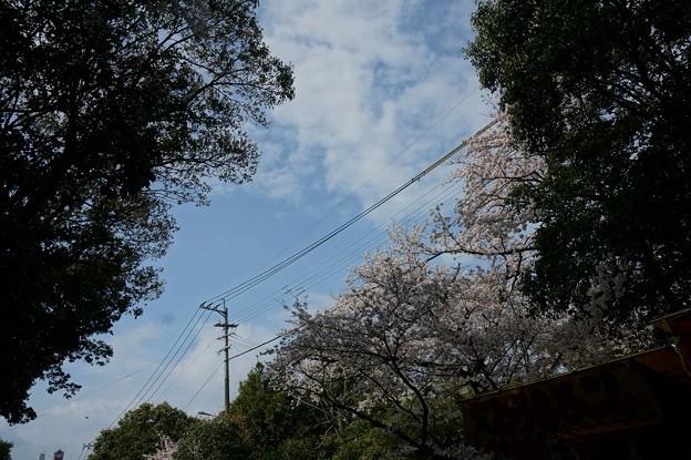 2017年4月9日 西公園 桜 福岡 さくら 写真 (134)