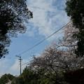 写真: 2017年4月9日 西公園 桜 福岡 さくら 写真 (134)