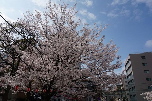 2017年4月9日 西公園 桜 福岡 さくら 写真 (139)