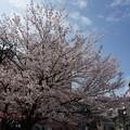 写真: 2017年4月9日 西公園 桜 福岡 さくら 写真 (139)