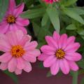 ピンクの百日草