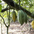 pods on cocoa tree