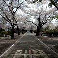 多磨霊園の桜並木