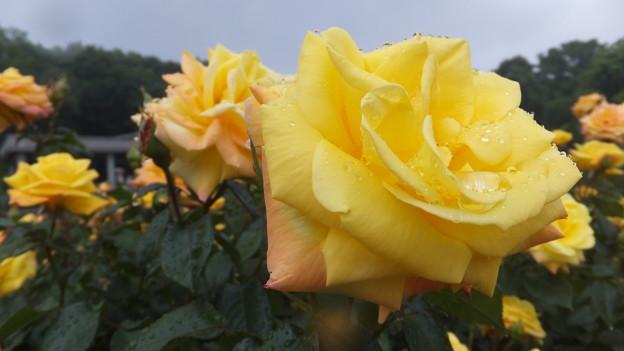 バラの花8
