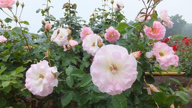 バラの花10