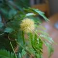 写真: エバーフレッシュの花が咲いた