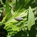 ナナホシテントウムシの幼虫