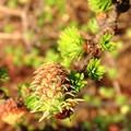 写真: 落葉松の花