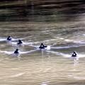 キンクロハジロの泳ぎの波紋