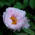 薄いピンク色の牡丹