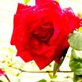 薔薇の微笑み