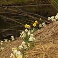 水仙の花道(自然)1