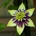 開花のビエネッタ