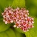 シモツケの花