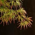 雨の日もみじの葉