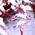 南天の赤と雪の白