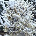雪に包まれた蝋梅