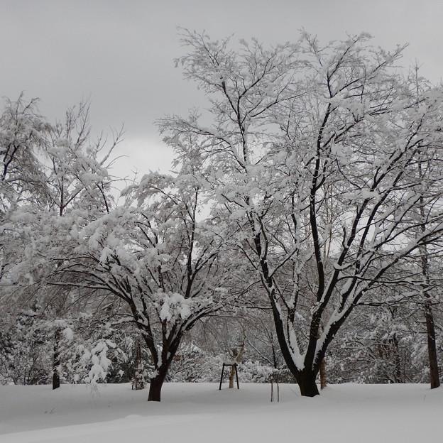 雪満開・桜