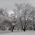 写真: 雪満開・桜