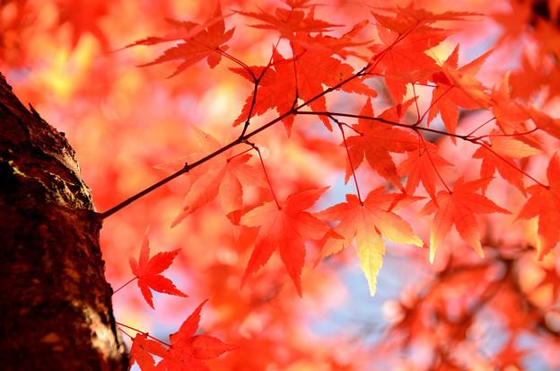 富士見高原の紅葉1