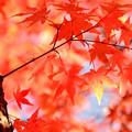 写真: 富士見高原の紅葉1