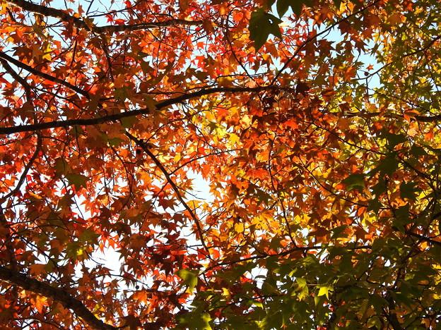 モミジバフウの紅葉 (2)