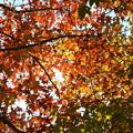 写真: モミジバフウの紅葉 (2)