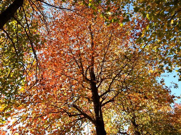 写真: モミジバフウの紅葉 (3)