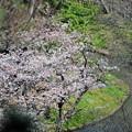 写真: 17 繁みに咲く桜