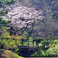 23 桜の存在感