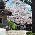 17 覗く桜