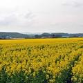 写真: 47 菜の花畑
